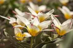 Wild tulips in early spring - so beautiful!