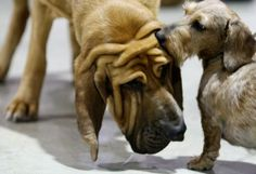 Romeo meets Polly the Bloodhound