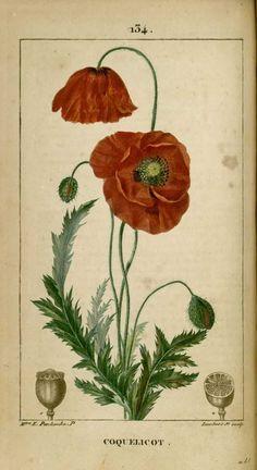 img/dessins-gravures de plantes medicinales/coquelicot, ponceau, pavot rouge.jpg