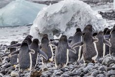 Antarctic penguin loss reported to be severe.