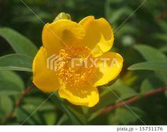 Hypericum patulum (close-up) | キンシバイ (金糸梅) の黄色い花、寄り