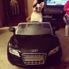 VROOM VROOM, BITCHES. | 28 Important Facts About Manny The Sink Sleeping FrenchBulldog  This is the most adorable dog I have ever seen.