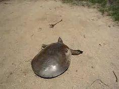 SUPER FAST TURTLE