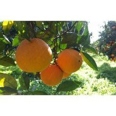 Iniziata la campagna delle #arance #bio di #tenutabiogambino vieni a visitarci #arancia #Ribera