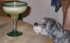 No dog was harmed in any way ~ Malti-Poo fun in Missouri ... JhC #Dog #Pet