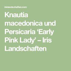 Knautia macedonica und Persicaria 'Early Pink Lady' – Iris Landschaften