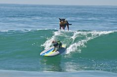 Recently it has become a normal image for 1,500 spectators on Huntington Beach. Over the weekend, 46 athletic dogs took to the waves to compete in the fourth annual Surf City Surf Dog event.    Competitors – called 'surFURS' – got two points for lying on the board, three for sitting and five for standing on all fours.  Extra points were awarded to dogs who pulled off a manoeuvre, such as a 180-degree or 360-degree spin or riding backwards.