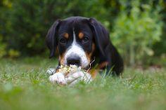 Ein Entlebucher Sennenhund welpe