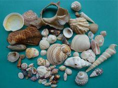 Seashells from Rocky Point   (Puerto Penasco, Mexico)