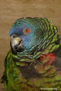 Saint Lucia Amazon (Amazona versicolor).