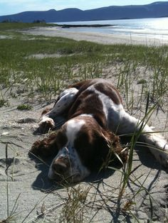 Billy the springer spaniel at the beach on the island of Loppa, Northern Norway