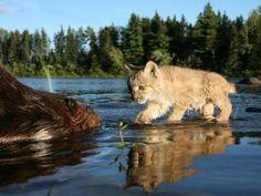 Encuentro entre un gato salvaje y un castor