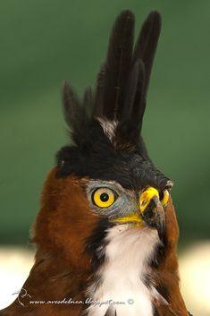 Águila crestuda real (Ornate hawk-Eagle) Spizaetus ornatus » Focusing on Wildlife