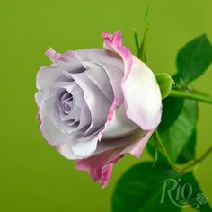 Rio Roses: Purple Haze