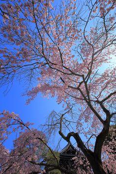 友禅苑のしだれ桜と雄大な三門