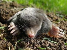 Protect your lawn easily and economically; No chemicals, traps or batteries required. http://gardenseason.com/solar-mole-repellent/