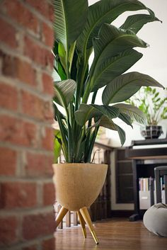 large peace lily, flourishes in shade and won't flower in shade Tall Indoor Plants, Indoor Plants Low Light, Outdoor Plants, Hanging Plants, Garden Plants, Potted Plants, Peace Lily Indoor, Peace Lily Plant, House Plants Decor