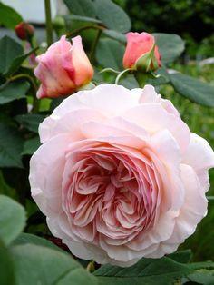 Love Rose, Pretty Flowers, Pink Flowers, Exotic Flowers, Yellow Roses, Ranunculus Flowers, David Austin Rosen, Shrub Roses, Hybrid Tea Roses