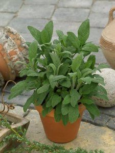 Sage Seeds - Salvia Officinalis - 1 Gram - Approx 120 Gardening Seeds - Herb Garden Seed by Generic Seeds. $2.49. Generic Seeds: The Same High Quality Seeds Made By Mother Nature Just in Cheaper Packaging. 1 Gram: Approx 120 Seeds. Germination Rate: 89% - Purity: 99% - Country of Origin: USA. Days Until Harvest: 75. Salvia officinalis. Sage is a popular culinary herb similar to pepper.  It also grows beautiful purple flowers and has a great fragrance.. Save 37% Off!
