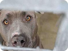 6/10/ 16 URGENT--- Los Angeles, CA - Pit Bull Terrier. Meet A1627620, a dog for adoption. HURRY I AM IN A KILL SHELTHER!!** http://www.adoptapet.com/pet/15578483-los-angeles-california-pit-bull-terrier