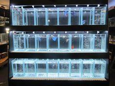 Betta Fish Tanks | Betta Tank Fighter Fish Display Tank - Aquarium and reptile online ...