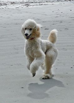 Poodle The Adorable Dog - The Pooch Online I Love Dogs, Cute Dogs, Small Poodle, French Dogs, French Poodles, Best Dogs, Dog Breeds, Standard Poodles, Poodle Puppies