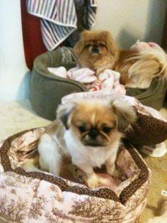 Pekingese - the one in the back looks like mine did   : (