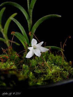 http://www.lonisorchideenforum.de/t66f4-Afrikanische-Monopods-Aerangis-Angraecum-und-Co-1.html   Angraecum pectinatum
