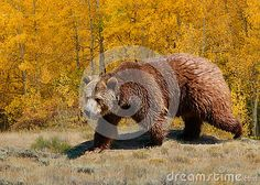 Grizzly bear with golden aspen in autumn.  This stock photo by Georgia Evans is available at https://www.dreamstime.com/stock-photography-image76283405#res1142378
