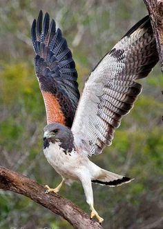 White-tailed Hawk (Buteo albicaudatus) is a large bird of prey species found in tropical or subtropical environments across the Americas. Exotic Birds, Colorful Birds, Exotic Pets, Exotic Animals, Pretty Birds, Beautiful Birds, Animals Beautiful, All Birds, Birds Of Prey