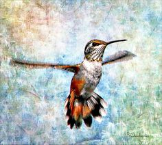 Hovering Rufous Hummingbird by Barbara Chichester. Ana amazing artistic touch to a simple photo. Wonderful.