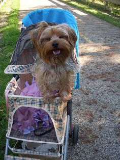Aww poor dog! ---- This cute but I don't think my yorkie would stay in the stroller lol