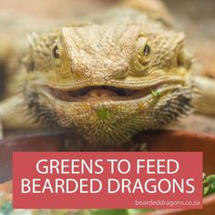What greens to feed Bearded dragons Bearded Dragon Terrarium, Bearded Dragon Funny, Bearded Dragon Diet, Amphibians, Reptiles, Bearded Dragon Substrate, Reptile Cage, Reptile Enclosure, Reptile Habitat
