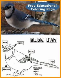 Free printable, educational, Coloring Worksheet of the Blue Jay for kids.