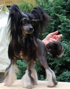 torini_photo - Женщины - Золотые Алмазные китайские хохлатые собаки
