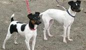Japanese Terrier breed info,Pictures,Characteristics,Hypoallergenic:No Terrier Dog Breeds, Dog List, Types Of Dogs, Working Dogs, Japanese, Pictures, Animals, Photos, Animales