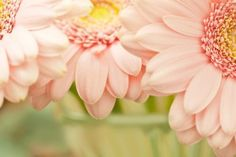 Gerbera Daisy Flowers HD Wallpaper