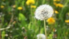 #La saison du rhume des foins a débuté - 7sur7: 7sur7 La saison du rhume des foins a débuté 7sur7 Le seuil critique de 50 grains de pollen…
