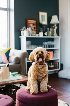 Jen Serafini's Chicago Apartment Tour #theeverygirl #livingroom #dog #couch #chairs