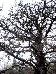 Quercus / Eik / Oak