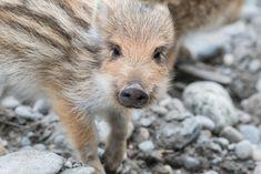 Au Zoo de Bâle, les marcassins sont en action