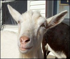 Dairy goat husbandry for beginners. I can't believe how easy it is to make things with raw goat milk.