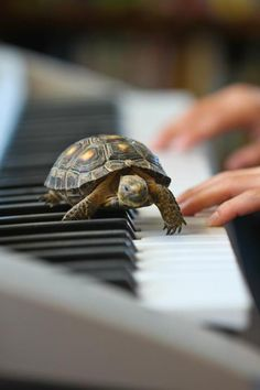 Red-footed Tortoise playing a duet and taking requests......