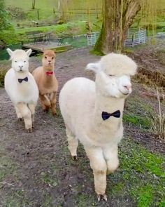 Alpacas dressed up for a night out. Alpacas dressed up for a night out. Cute Little Animals, Cute Funny Animals, Cute Animal Videos, Funny Animal Pictures, Alpacas, Fluffy Cows, Cute Alpaca, Cute Cows, Animals And Pets
