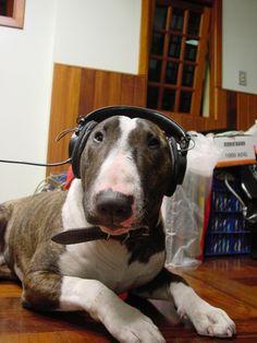 #Bull #Terrier music lover)