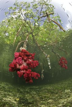 Coral growing on Mangrove's roots, Raja Ampat Islands, Papua, Indonesia.