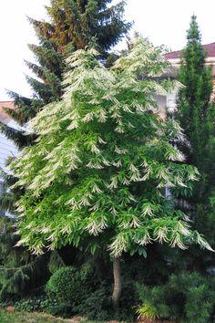 Trees: Sourwood  - CountryLiving.com