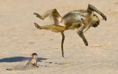 A look back at the best animal photographs from around the world A baby baboon watches an adult do a backflip in the Ruaha National Park in Tanzania