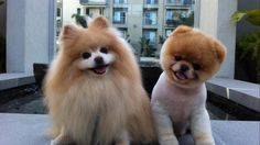 Pomeranian Boo Buddy - lovely, animal, cute, dog
