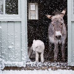 snowy day for this donkey and sheep. love the bonds between animals Farm Animals, Animals And Pets, Funny Animals, Cute Animals, Wild Animals, Zebras, Olympia Horse Show, Beautiful Creatures, Animals Beautiful